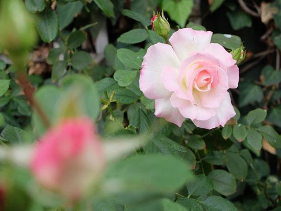 rose_seduction