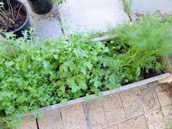 サラダ菜ガーデン